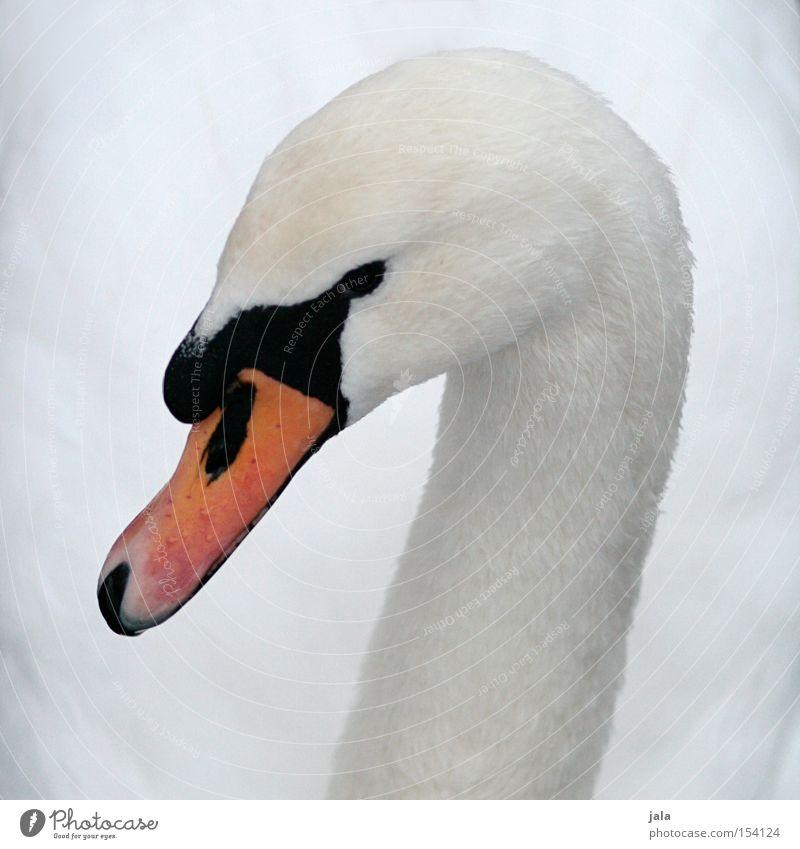 liebesvogel #1 schön weiß Tier Kopf Vogel elegant ästhetisch Feder Hals Schnabel Stolz Schwan