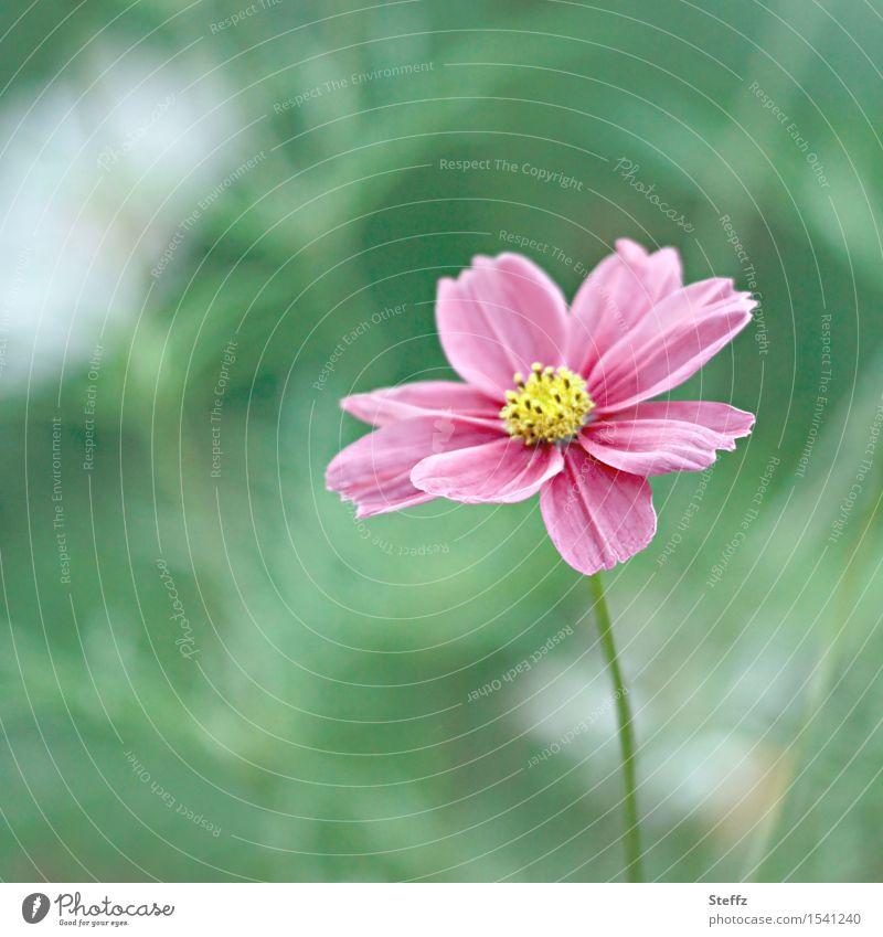 eine kleine Cosmea blüht noch im Oktober Blümchen Schmuckkörbchen Cosmos bipinnatus rosa Blüte rosa Blume lange Blütezeit Herbstblüte blühen blühend