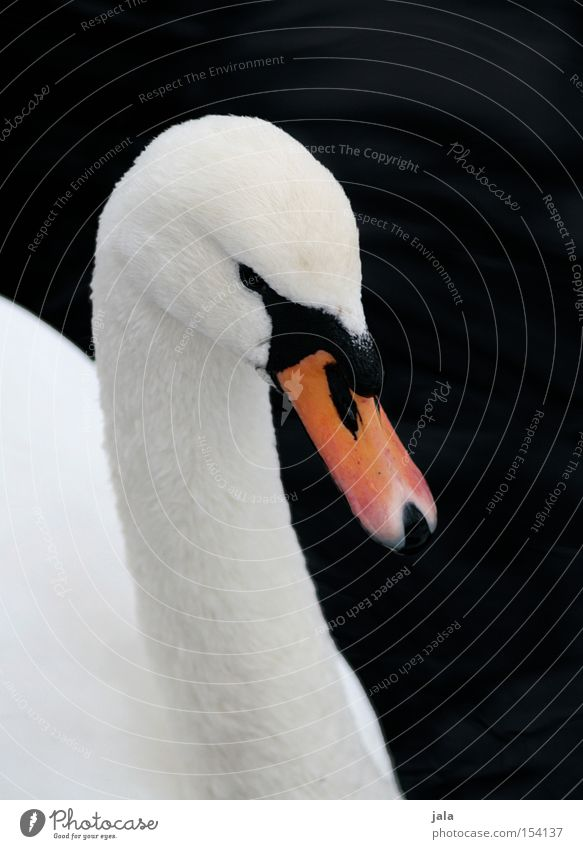 mein lieber schwan schön weiß Tier Kopf Vogel elegant ästhetisch Feder Hals Schnabel Stolz Schwan