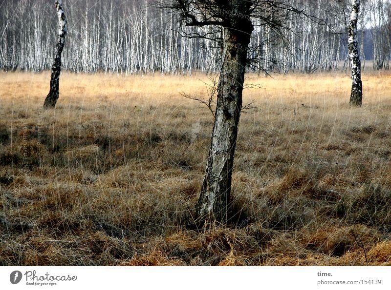Vereinsvorstand Winter Pflanze Baum Gras Moor Sumpf Holz alt Gefühle Natur Netzwerk Umwelt Umweltschutz Verfall Vergänglichkeit Birke 3 feucht Wäldchen mehrere
