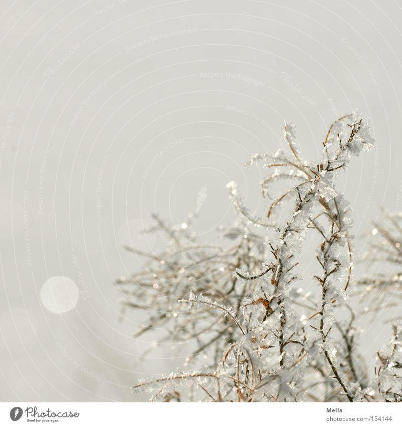 Die Schneekönigin war da Natur weiß Pflanze Winter kalt Eis hell glänzend Umwelt Frost natürlich Mineralien Kristalle Raureif