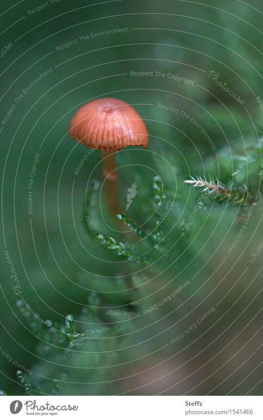 ein kleiner Pilz wächst im Moos Waldpilz Pilzhut Novemberwald Herbstwald allein im Wald Waldboden Winzling Farbklecks heimisch Märchenwald mickrig einzigartig