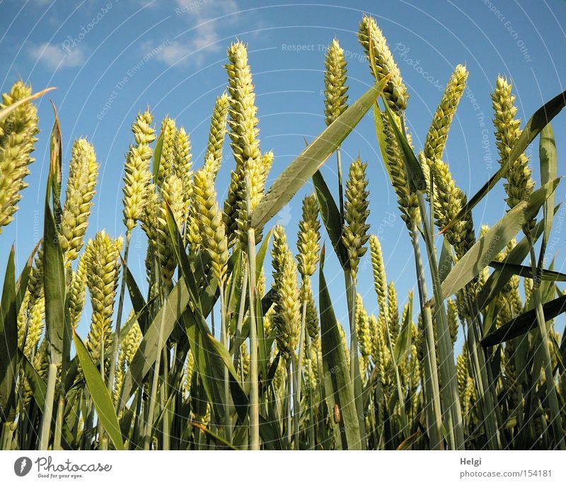 Weizen... Himmel Natur blau grün Sommer Pflanze Bewegung Feld Wachstum Ernährung stehen Schönes Wetter Vergänglichkeit Getreide Bioprodukte Halm
