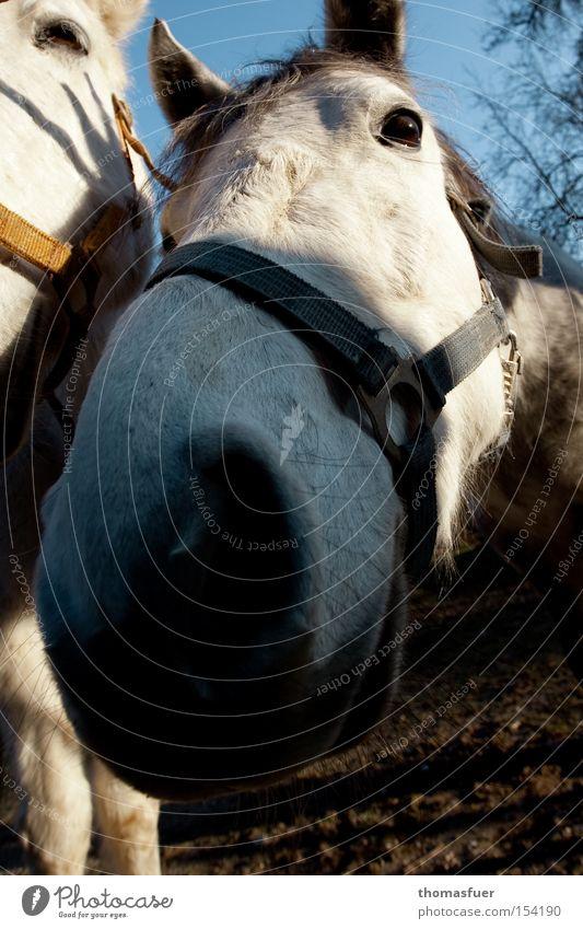 Ich! Ich! Ich! Nase Pferd Medien Neugier Sportveranstaltung Fressen Säugetier erstaunt Konkurrenz eitel Gier Tier Landleben Nüstern Politiker
