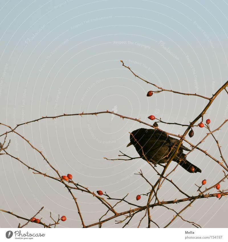 Hunger Umwelt Natur Pflanze Sträucher Tier Vogel Amsel 1 hocken sitzen Ast Zweig Geäst Hagebutten Futter Suche Hundsrose Farbfoto Außenaufnahme Tag