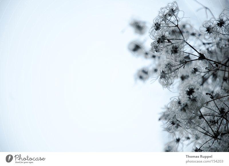 Wandstrauch Farbfoto Gedeckte Farben Außenaufnahme Menschenleer Textfreiraum links Abend Dämmerung Froschperspektive Winter Natur Pflanze Sträucher Grünpflanze