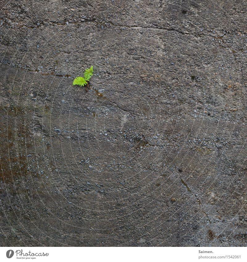 kampf-farn Natur Pflanze grau grün Beginn Einsamkeit Entschlossenheit Hoffnung Stadt Farn Farnblatt Beton Betonmauer Riss Farbfoto Außenaufnahme Menschenleer
