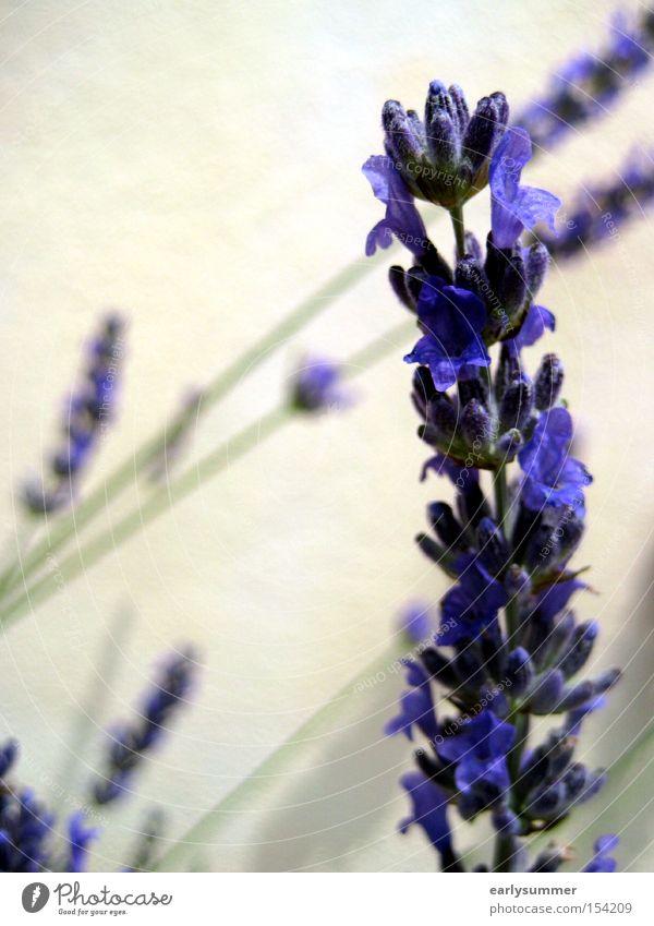Lavendel violett Pflanze Blume Sommer Natur Blüte Makroaufnahme Frühling sanft Tee Teepflanze Duft Unschärfe Nahaufnahme Heilpflanzen