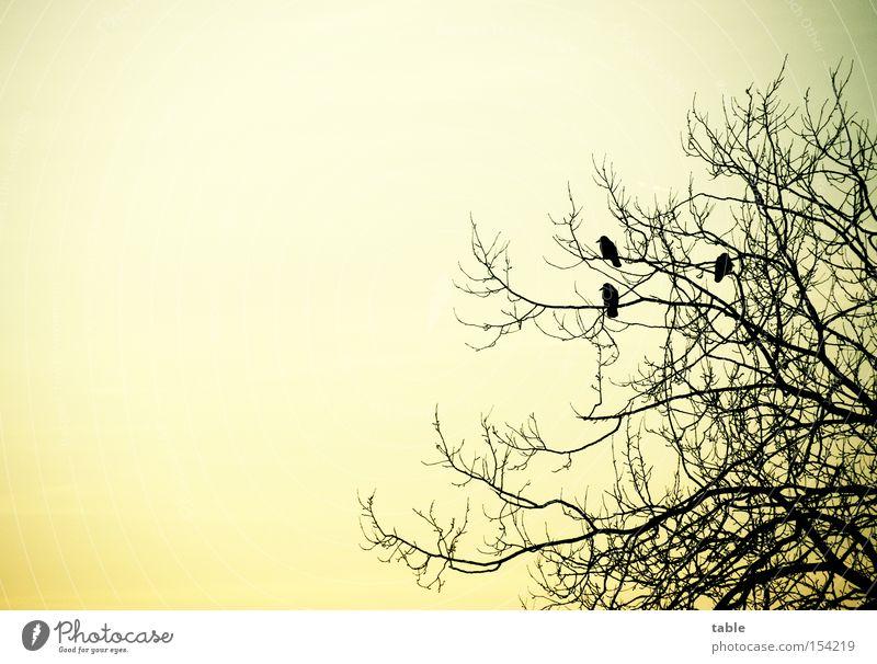 Pole-Position Baum Rabenvögel Krähe Vogel Mythologie sitzen Himmel Abend Winter kalt Gefühle Startplatz Hugin Munin fliegen