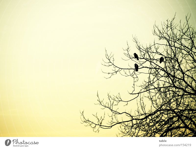 Pole-Position Himmel Baum Winter kalt Gefühle Vogel fliegen sitzen Rabenvögel Krähe Mythologie