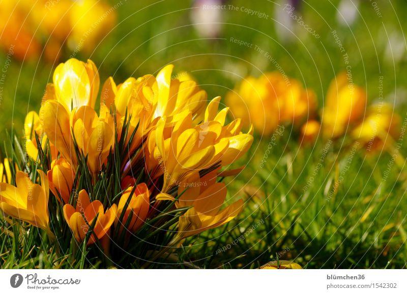 Grüppchenbildung Natur Pflanze Frühling Blume Blatt Blüte Krokusse Knollengewächse Garten Park Blühend leuchten März April aufwachen Frühlingsgefühle