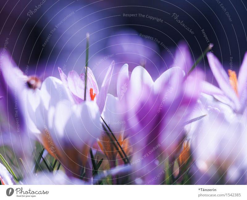 Frühlingserwachen Natur Pflanze Schönes Wetter Blume Krokusse Garten ästhetisch Fröhlichkeit frisch schön natürlich positiv mehrfarbig Farbfoto Außenaufnahme