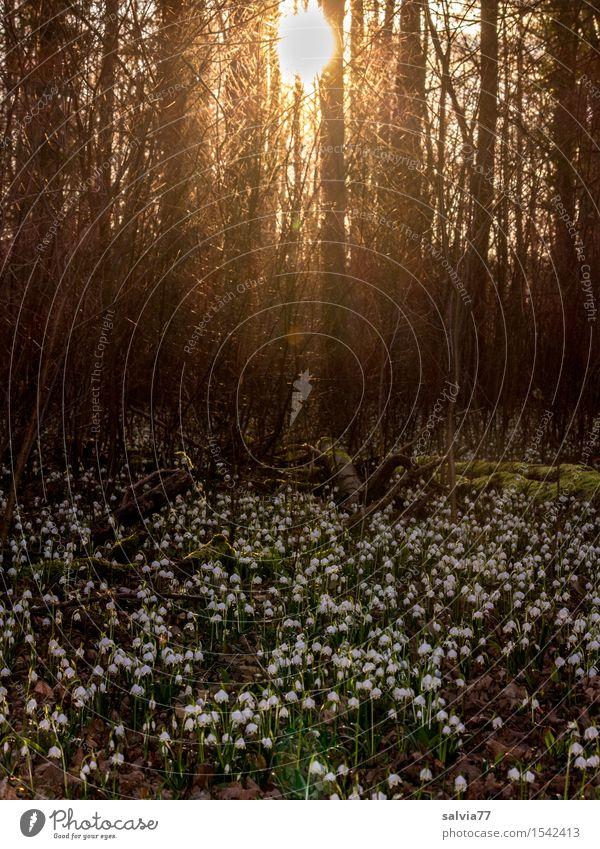 Frühlingsboten Natur Pflanze grün weiß Baum Sonne Blume ruhig Wald Blüte braun Stimmung Wachstum Idylle Blühend