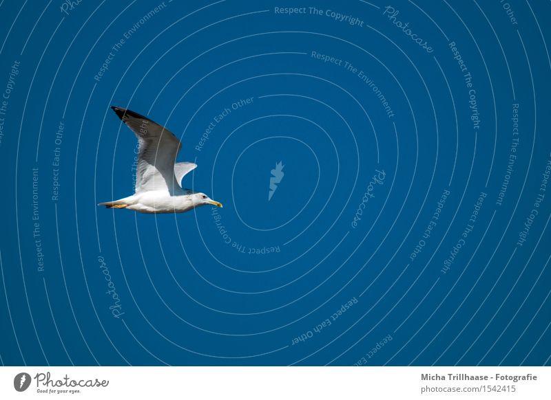 Möwe im Flug Himmel Natur Ferien & Urlaub & Reisen blau weiß Sonne Meer Tier Umwelt natürlich Bewegung Küste Freiheit fliegen Vogel Wetter