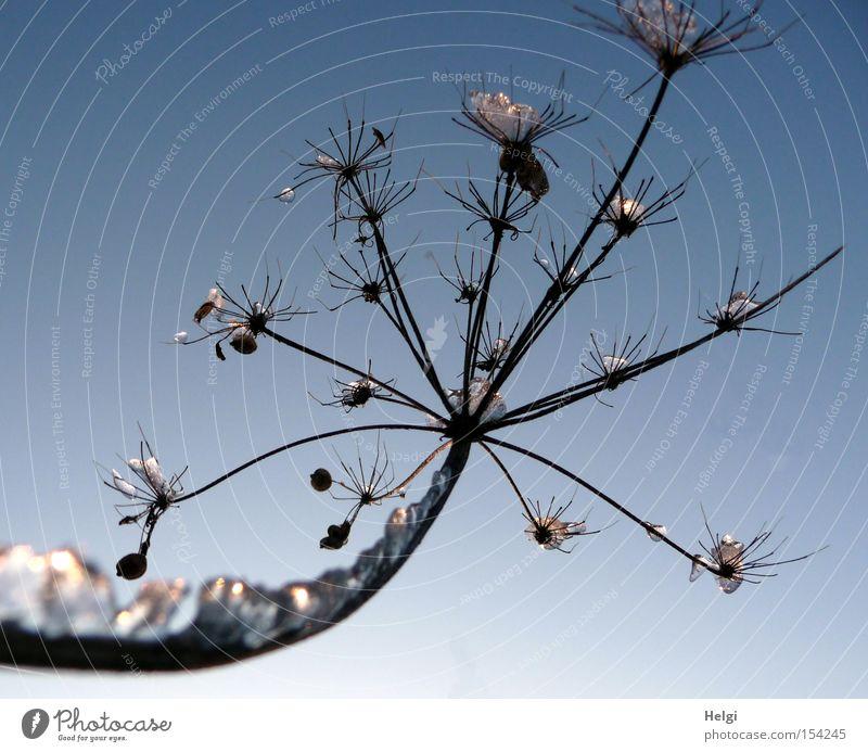 mit Edelsteinen... Natur Pflanze Winter kalt Schnee Eis glänzend Vergänglichkeit Stengel gefroren Kristallstrukturen Fühler ausgestreckt schimmern