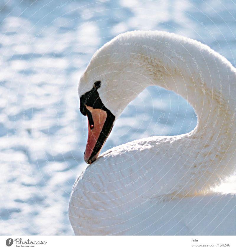 winterschönheit II Schwan elegant Tier Schnabel Hals Vogel Feder weiß Winter Schnee kalt ästhetisch Stolz