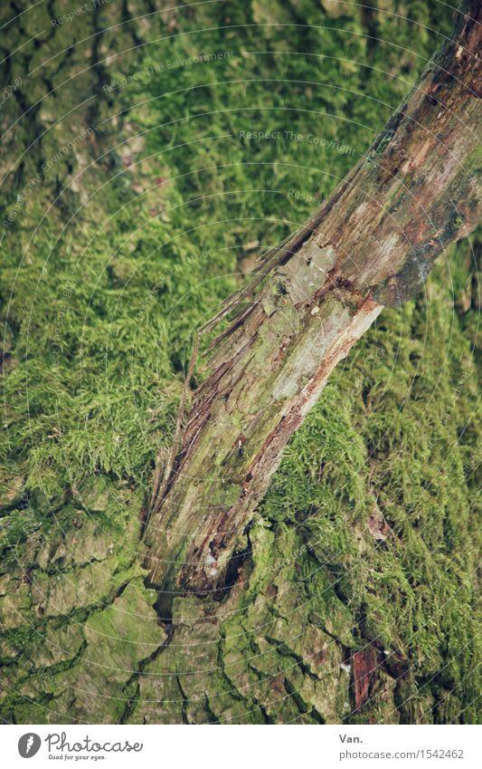 aus der Mitte entspringt ein Ast Natur Pflanze Baum Moos Baumstamm Baumrinde natürlich braun grün Holz trocken Wachstum Farbfoto mehrfarbig Außenaufnahme