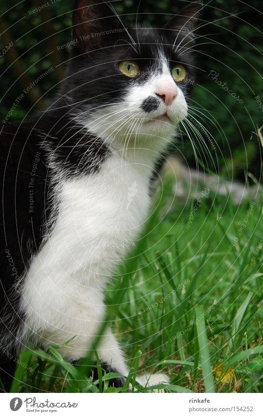 Elton Katze Hauskatze Schwarzweißfoto Wiese Froschperspektive Fell Wachsamkeit grün Säugetier