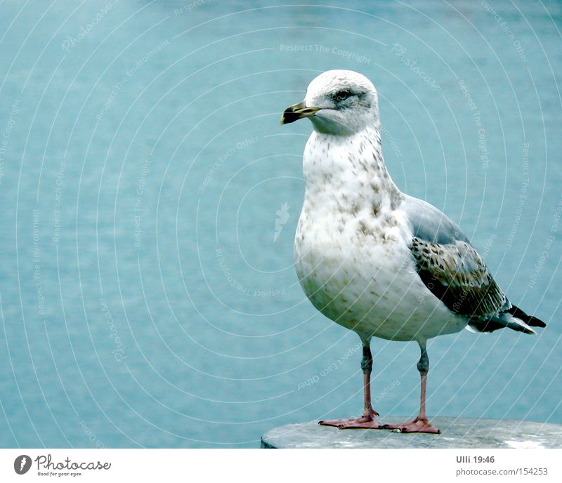 Name: Dietlinde. Beruf: Möwe. Kosename: ????? ruhig Meer Wasser Tier Wildtier Vogel Flügel 1 Blick stehen warten nah Neugier klug Geschwindigkeit schön blau