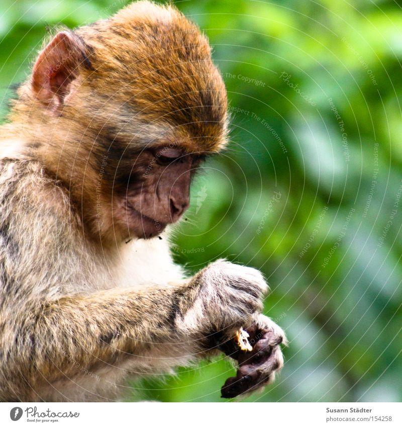 Wer hat die Kokosnuß geklaut? Affen Äffchen klein süß Haare & Frisuren Suche Finger Denken Baum Freiheit Säugetier