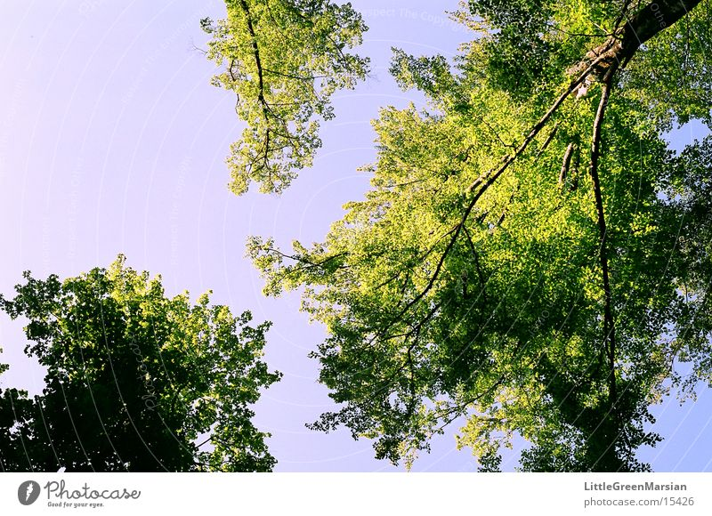 soo hoch Baum Blatt grün blau Blauer Himmel Schönes Wetter aufwärts