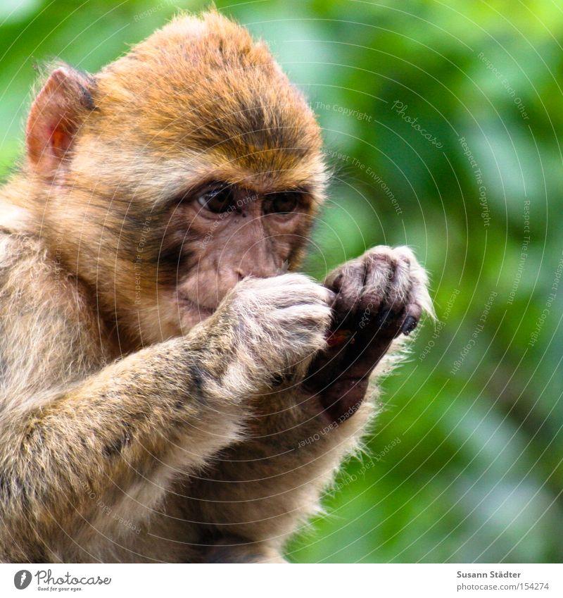 Mein Schatz... Baum grün Ast Zweig Sommer Baumkrone Arme träumen Malchow Säugetier Boxring Lautsprecher nachdenken Affenwald