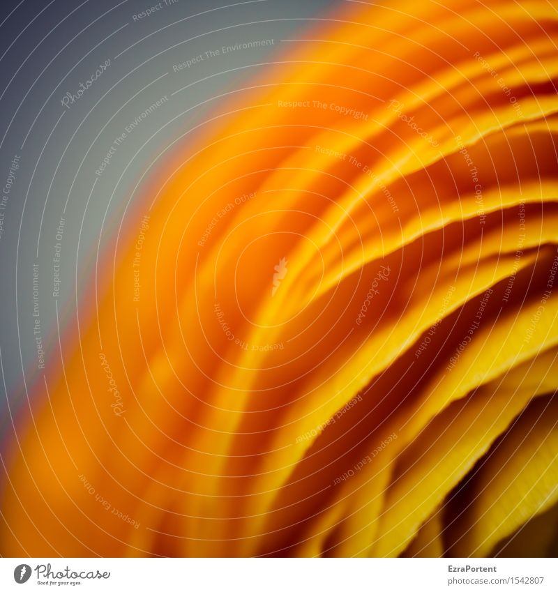 obenlinksblüte Natur Pflanze Blume Blüte Linie Streifen orange Frühlingsgefühle Blütenblatt Ranunkel Farbe Floristik Farbfoto Innenaufnahme Nahaufnahme