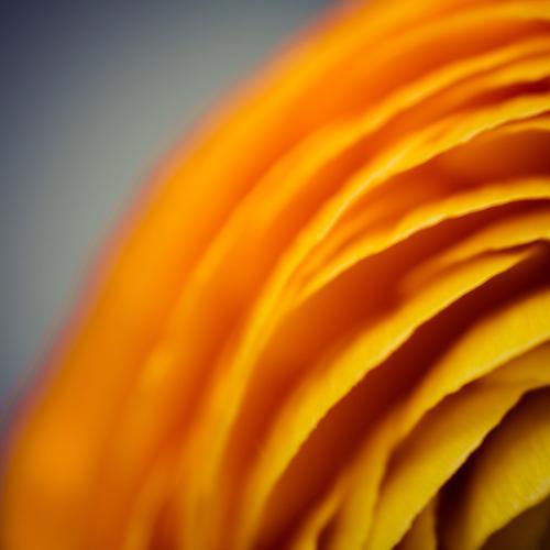 obenlinksblüte Natur Pflanze Farbe Blume Blüte Frühling Linie orange Streifen Blütenblatt Frühlingsgefühle Floristik Ranunkel