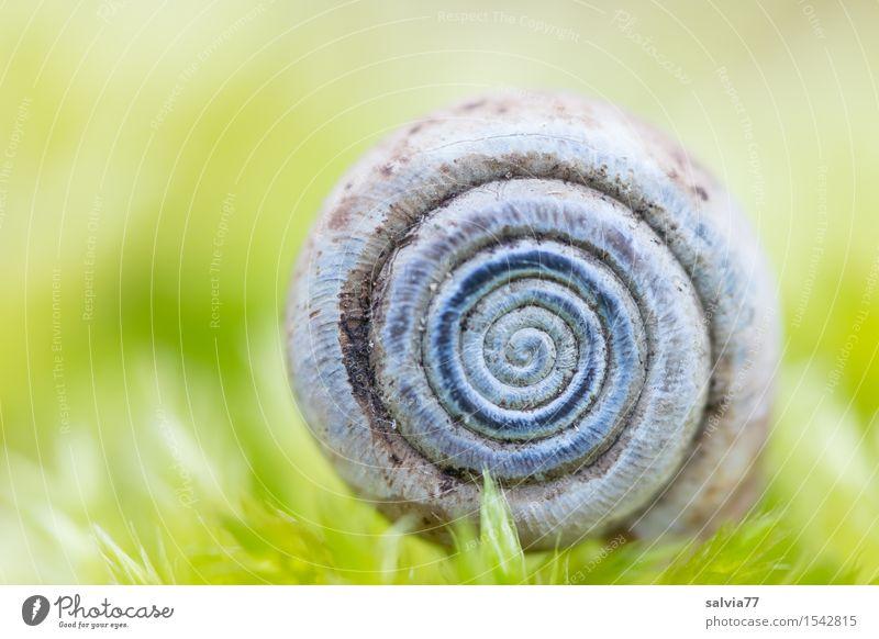 Anfang und Ende Natur Pflanze Tier Erde Frühling Moos Grünpflanze Wald Schnecke Schneckenhaus nah positiv rund blau grau grün Schutz ruhig Design Spirale