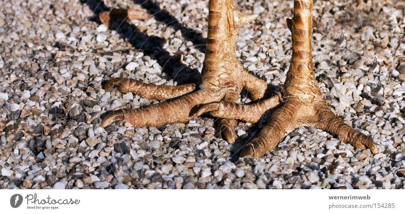 Strauß (Erdgeschoss) Krallen Tierfuß Beine Vogel Kies Schlagschatten gehen stolzieren Hornschuppen Schuppen Detailaufnahme paarweise