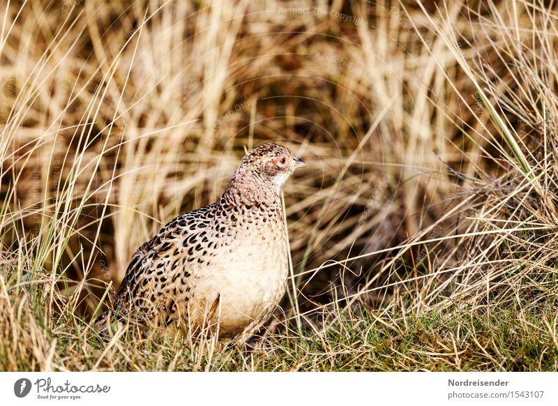 Fasanenhenne Landwirtschaft Forstwirtschaft Umwelt Natur Landschaft Pflanze Tier Sommer Schönes Wetter Gras Wiese Küste Nordsee Meer Wildtier Vogel 1 beobachten