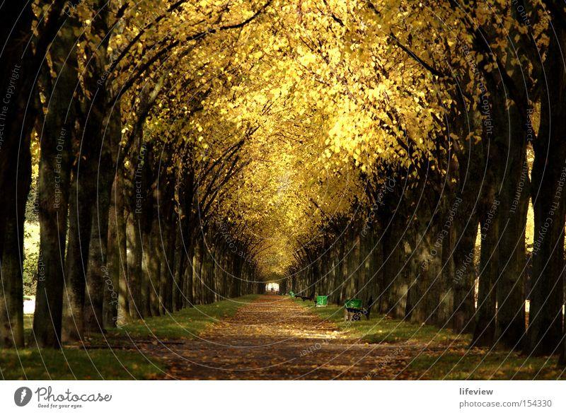 Ein Dach aus Gold Allee Baum Herbst Blatt Park Herbstlaub herbstlich Zentralperspektive Tunnelblick Fußweg Baumreihe Menschenleer Blätterdach Herbstfärbung