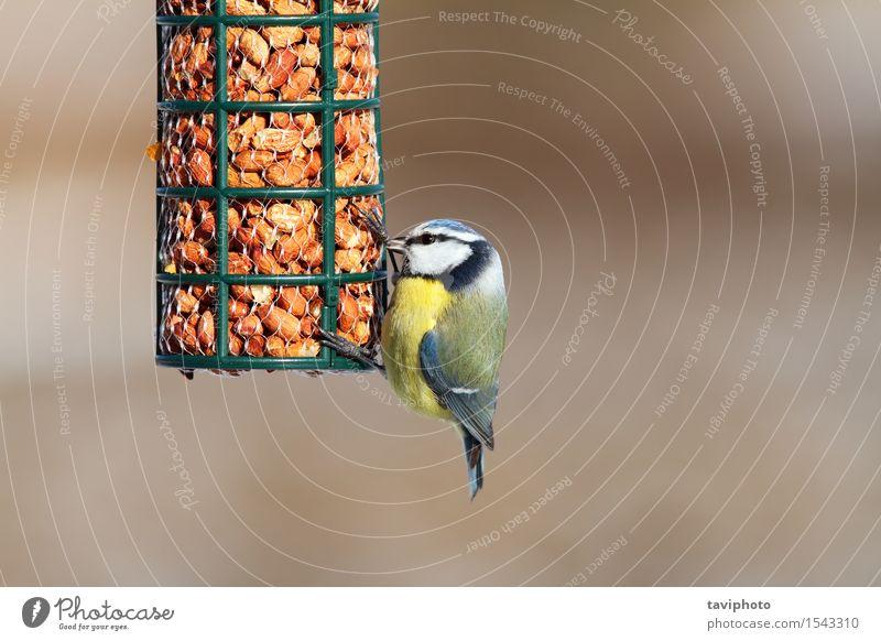 Blaumeise auf Gartenvogelzufuhr Natur blau schön weiß Landschaft Tier Winter Wald Umwelt gelb natürlich klein Vogel wild Feder