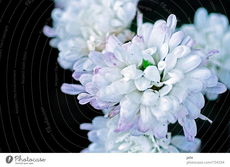 blütenweiss Blume Blüte prächtig weiß schwarz Pflanze Natur Sommer schön Blühend Blütenblatt