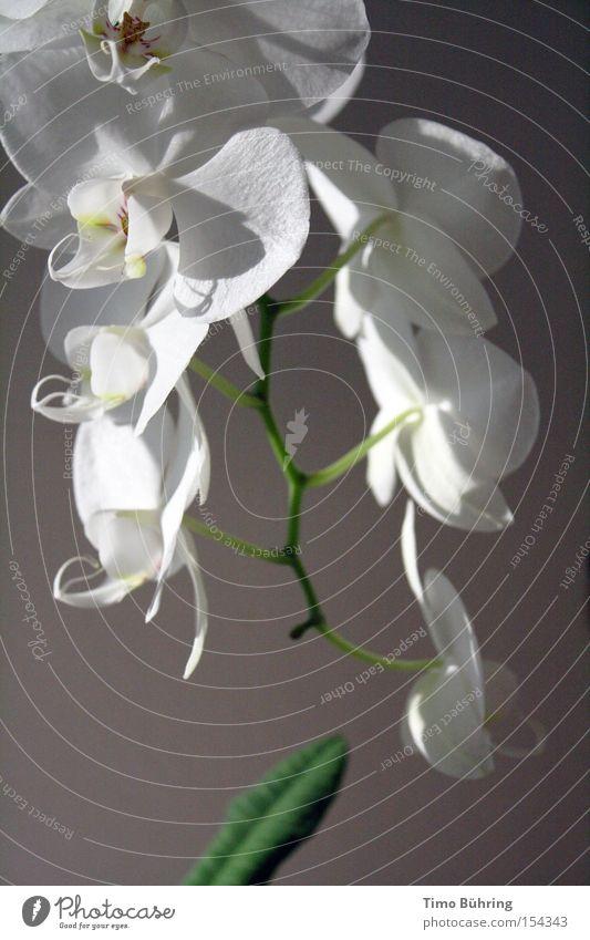 Reinweiss weiß Blume grün Freude ruhig dunkel hell Gelassenheit Blühend Stillleben Orchidee