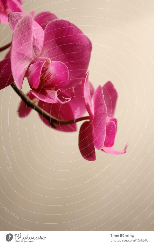 Pink Panther Blume Pflanze ruhig rosa Blühend Stillleben Orchidee
