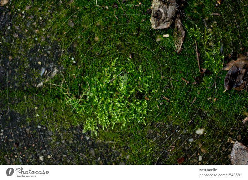 Moos Frühblüher Frühling Garten Schrebergarten Wald Park Winter Pflanze grün Blattgrün Boden Erde