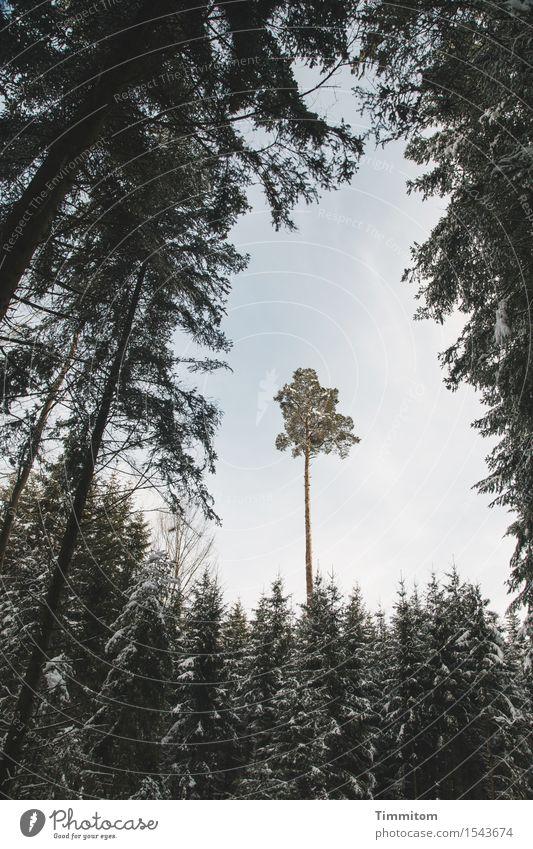Hochgewächs. Himmel Natur Baum Winter Schnee Schönes Wetter Urwald Schwarzwald