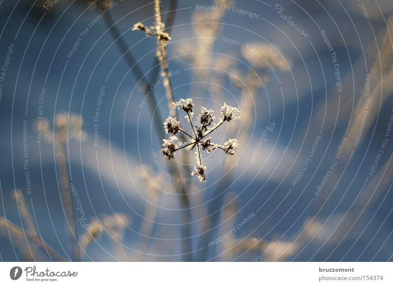 Der Winter blau Winter kalt Schnee Blüte Stern (Symbol) Frost Sträucher Ast Tiefenschärfe Raureif Eisblumen