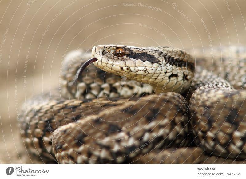 Detail eines Wiesenaddors Natur Tier Schlange wild braun Angst gefährlich Farbe Schuppen Reptil Rakkosiensis Fotografie giftig Gift Ottern Tierwelt Zoologie