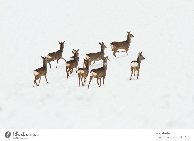 Reh Herde auf Schnee Frau Natur schön Landschaft Tier Winter Erwachsene Leben natürlich Menschengruppe braun Park wild Europa beobachten