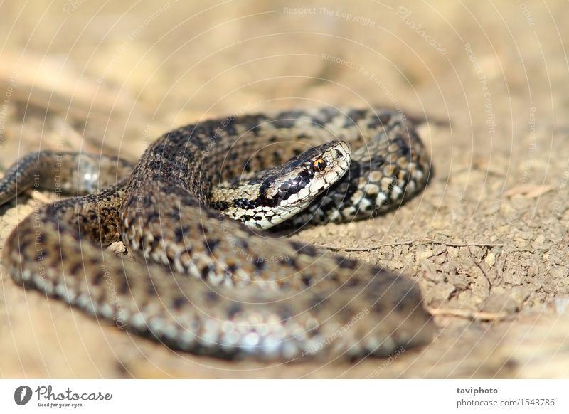 männliche Wiesenviper in situ schön Natur Tier Schlange wild braun Angst gefährlich Natter Ottern Vipera ursinii Rakkosiensis Rumänien Schuppen reptilisch