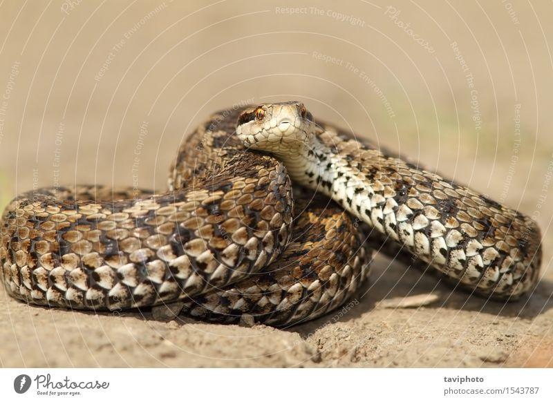Wiesen-Viper bereit zu streiken schön Natur Tier Schlange einzigartig wild braun Angst gefährlich Farbe reptilisch Schuppen Reptil Rakkosiensis giftig Treffer