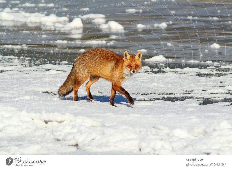 Fuchs, der auf Eis geht Hund Natur schön weiß rot Tier Winter natürlich Schnee klein braun wild Europa niedlich gefroren Jagd