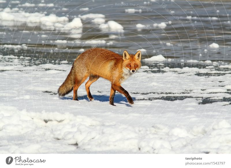 Hund Natur schön weiß rot Tier Winter natürlich Schnee klein braun wild Europa niedlich gefroren Jagd