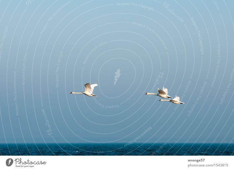 Patroullienflug Umwelt Natur Luft Wasser Himmel Wolkenloser Himmel Horizont Herbst Winter Schönes Wetter Wellen Ostsee Vorpommersche Boddenlandschaft Tier