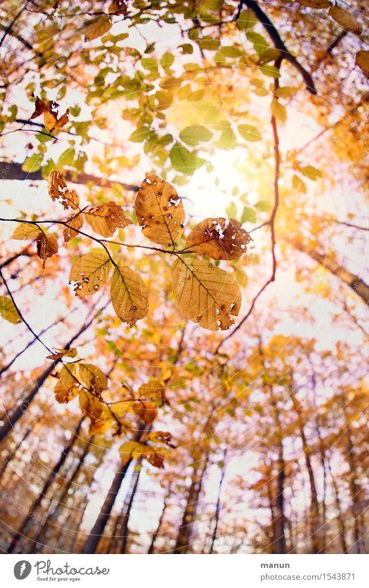 sunshine Natur Sonne Herbst Schönes Wetter Baum Blatt Laubwald Herbstlaub Herbstfärbung Herbstbeginn Herbstwetter Wald authentisch natürlich positiv Wärme gold
