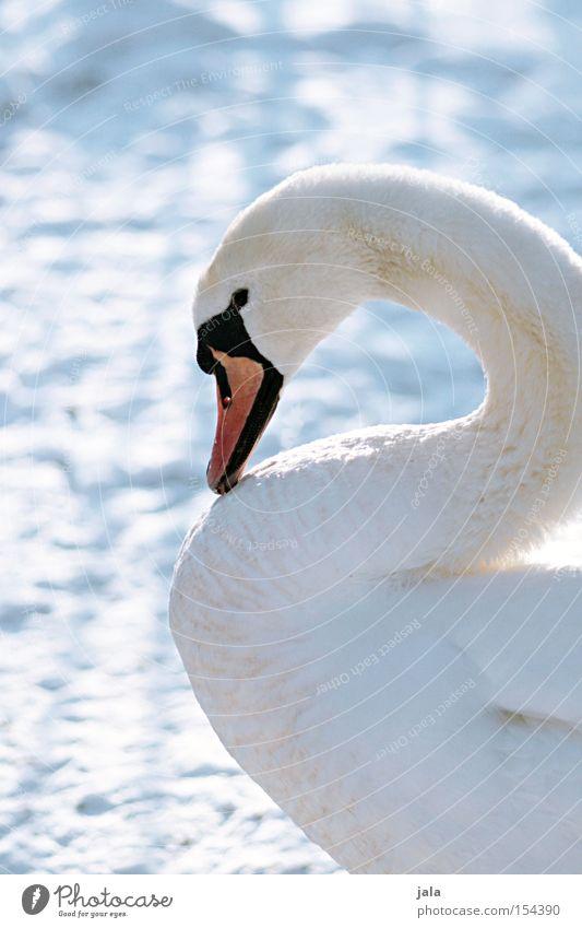 winterschönheit III Schwan elegant Tier Schnabel Hals Vogel Feder weiß Winter Schnee kalt ästhetisch Stolz