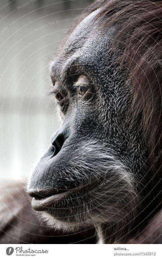 mom Zoo Wildtier Tierporträt Profil Tiergesicht Orang-Utan braun grau schwarz Farbfoto