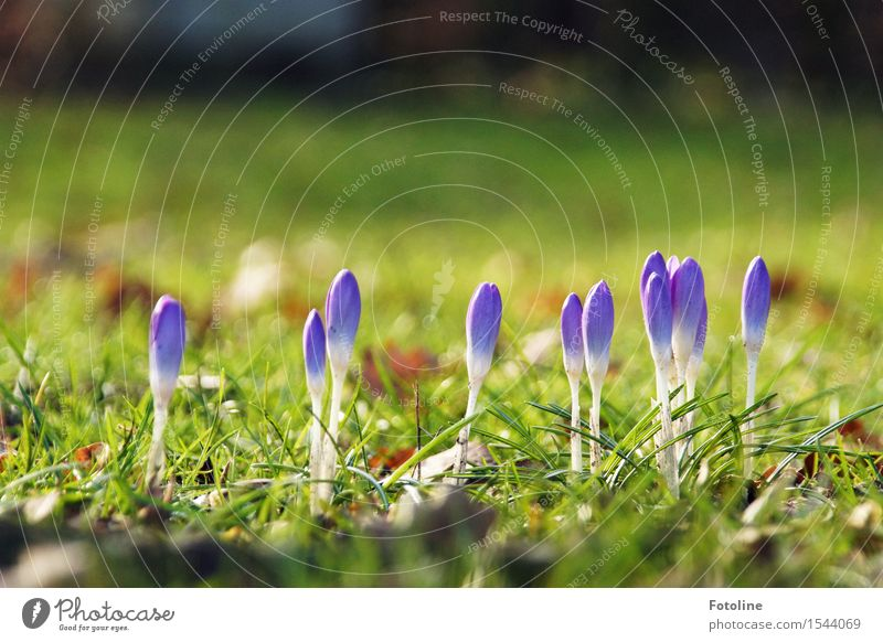 Farbkleckse Umwelt Natur Landschaft Pflanze Frühling Schönes Wetter Blume Gras Blüte Garten Park Wiese hell Wärme grün violett Krokusse Frühblüher